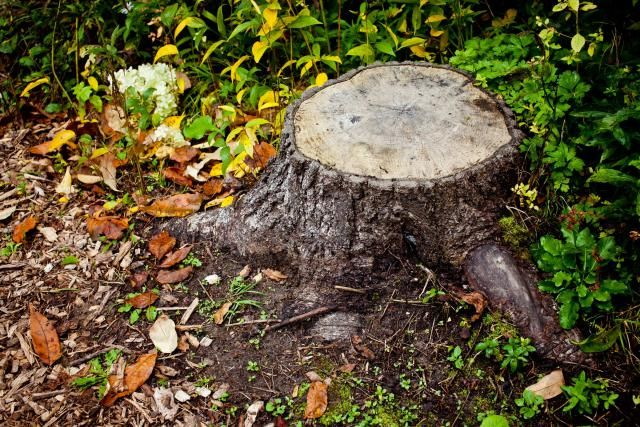 Removing tree stumps is possible without using stump grinders. Do it manually…