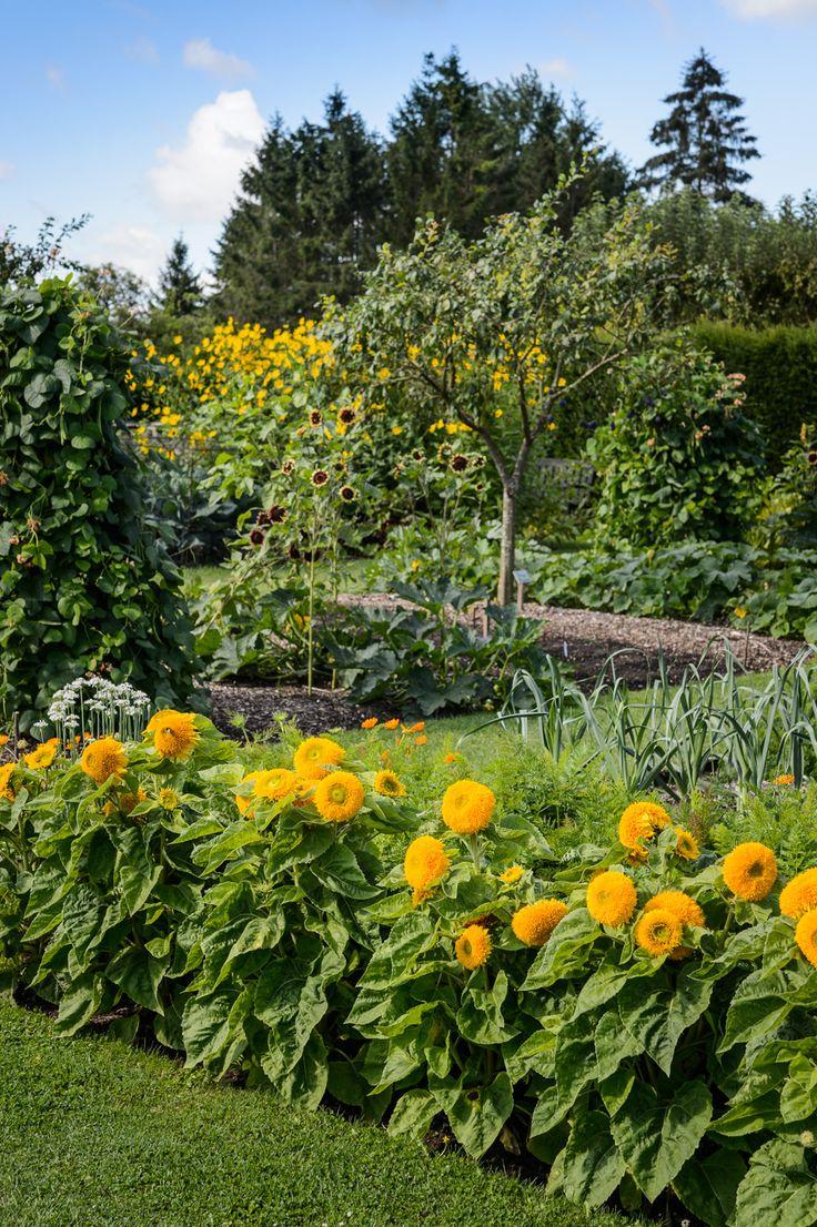 Organic vegetable gardens - Marigolds In The Organic Vegetable Garden