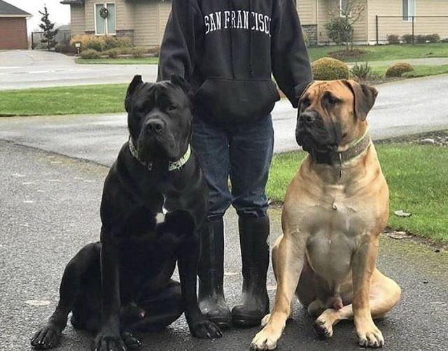 Cane Corso X Boerboel Giant Dogs Corso Dog Cane Corso Dog
