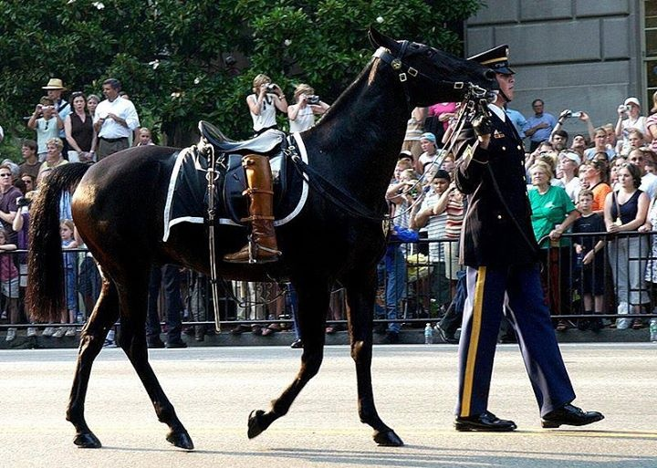 """""""Black Jack"""" was a Riderless Horse who walked in over a thousand military funeral processions between 1952 and 1976, including those of Presidents John F. Kennedy, Herbert Hoover, Lyndon B. Johnson, and General Douglas MacArthur. Black Jack died after 24 years of service at age 29, and is one of two horses in United States history to be buried with Full Military Honors."""