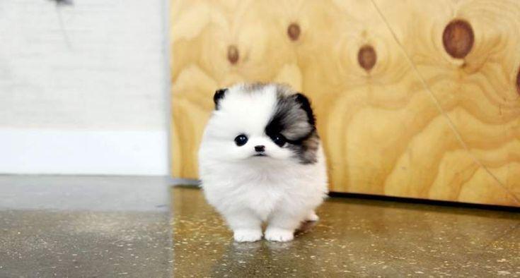 omg when I get older I really want a mini teacup Pomeranian husky mix.