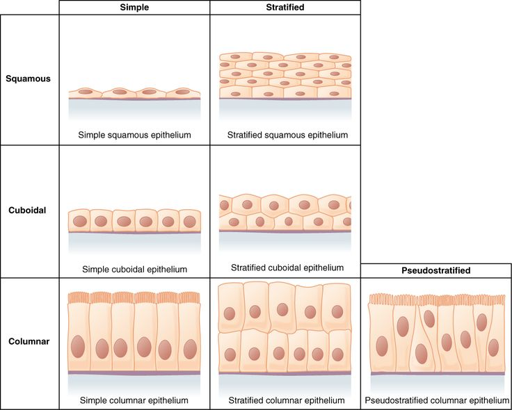 Line Art Quizlet : Best ideas about stratified squamous epithelium on