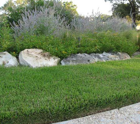 Zoysia Grass   Highly Drought Resistant This Is What Kind Of Grass I Want  In My