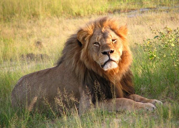 Have You Hated Cecil the Lion's Killer Today?