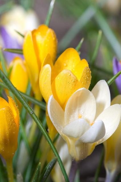 White and Yellow Crocus Flowers