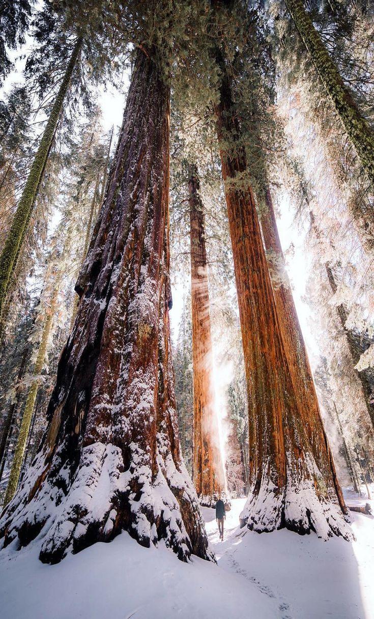 Beautiful winter scene among Redwoods