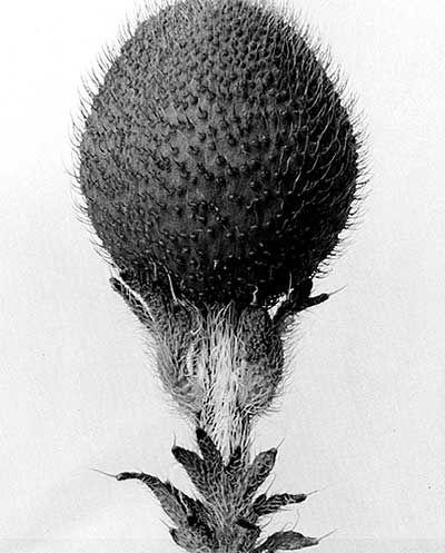 Karl Blossfeldt (1865-1932) botanical fine art photographer.