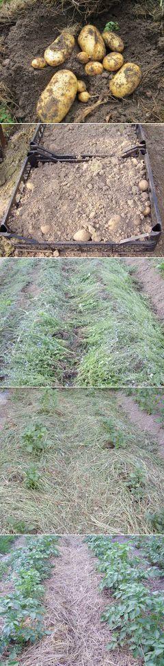 Как выращивать картофель под сеном? | Растения