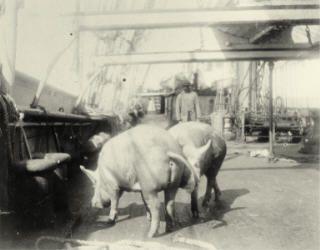Tuoretta lihaa kuljetettiin elävänä. Kuva: Museovirasto/Suomen merimuseo.