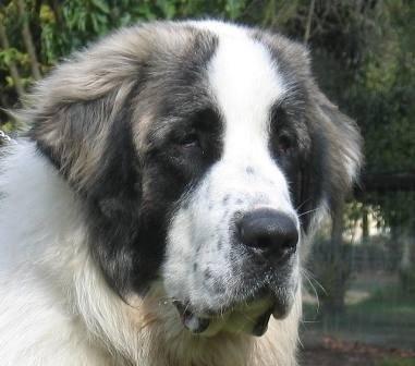Pyrenean Mastiffs