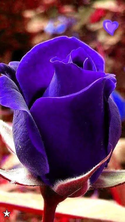 Flower - Purple rose                                                       …