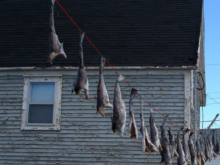 Drying salted Cod Fish outdoors hanging from their tails tied onto a line. Newfoundland artwork.