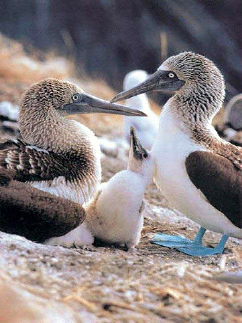 Watched the blue footed boobies diving this afternoon. They knock themselves out for 2 seconds as they hit the water, some at 120kph!!