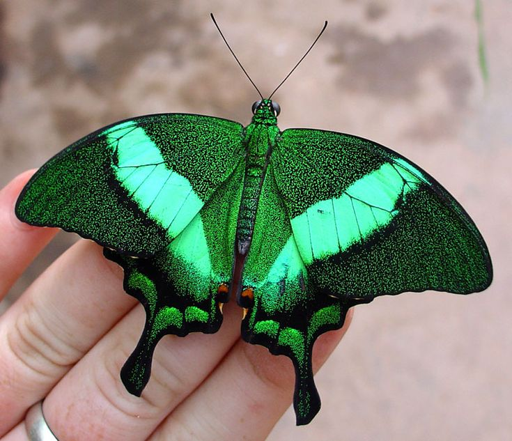 Emerald Moth ~ love these green colors!