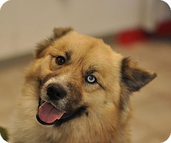 Colorado Springs, CO Husky Mix. Meet Gunner a Dog for