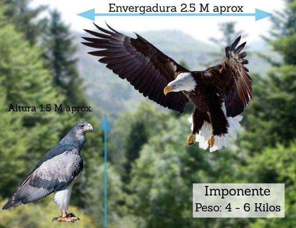 concepto y fundamento de por que se ocupa el águila