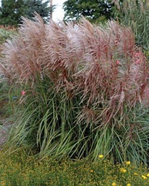 Miscanthus huron sunrise sinensis roseau de chine for Maiden fountain grass