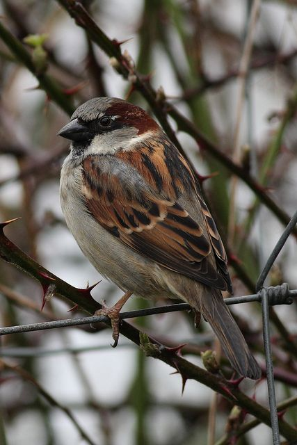 House Sparrow  Photo by Edward Cottell on Flickr. Most common bird in our yard in fact I have two families living in my vents, I love them.