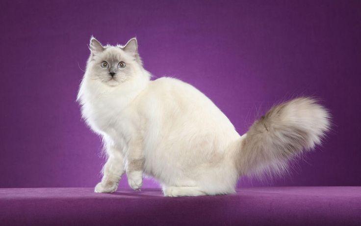 Рэгдолл – порода полудлинношерстных кошек с голубыми глазами.