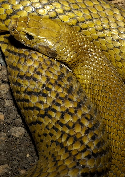 Inland Taipan, most venomous snake in the world, capable of killing in 1 minute.