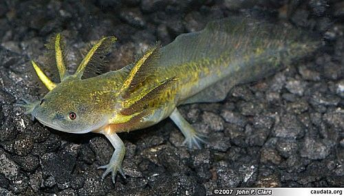 35 best animals 39 phibians images on pinterest for Water lizard fish