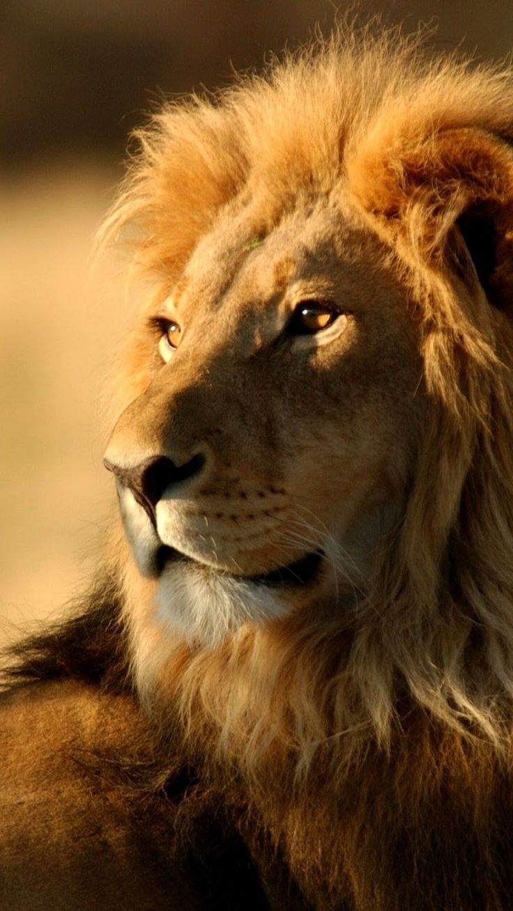 Lion Wallpaper Iphone Desktop Di Alta Qualita Iphone E Android Sfondo E Buyuk Kediler Leoparlar Hayvanlar