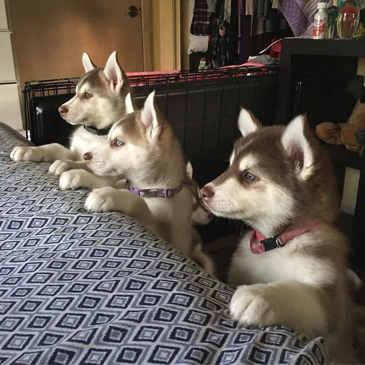 "9,245 Likes, 75 Comments - Husky Lovers  (@thehuskylove) on Instagram: ""Posted by @huskies Love to tag? Please DO⤵   : @luna_copperhusk    #huskynation"" [Siberian Husky Puppies]Accurate Psychic Readings  Call / WhatsApp +27843769238   psychicreading8@gmail.com   http://www.bestspiritualpsychic.com   https://twitter.com/healerkenneth   https://youtu.be/kZZeYOlk0JM   http://healerkenneth.blogspot.com   https://www.pinterest.com/accurater   https://www.facebook.com/psychickenneth…"