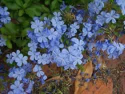 """If you are looking for a plant that loves the heat, doesn't mind long, humid summers, and is reasonably drought tolerant, then consider plumbago... The plumbago blooms non-stop from summer until first frost. It seems to have no diseases or pests... Although it blooms best in full sun, the plumbago can take considerable shade and still have an abundance of blooms. It will keep your yard full of butterflies all summer."""