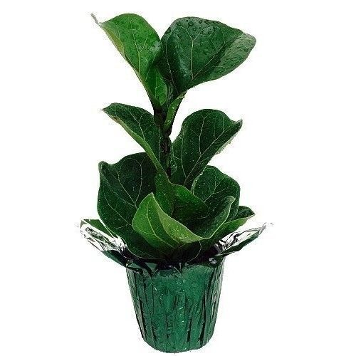 25 best indoor fig trees ideas on pinterest fiddle leaf for Indoor plant gift ideas