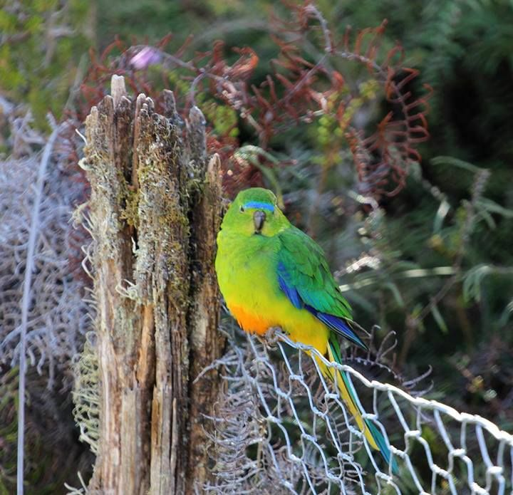 An rare Orange-bellied parrot at Melaleuca in Tasmania's south west. #orangebelliedparrot #tasmania #discovertasmania  Image Credit: Simon de Salis.