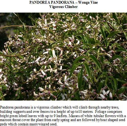 Pandorea pandorana - Knox Environment Society