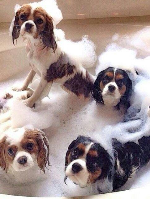 Haha, Cavaliers...clean Cavaliers in the bath