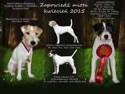 suczka Parson Russell Terrier