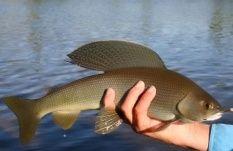 Хариус. Описание рыбы способы рыбалки на ТвойТрофей.ру