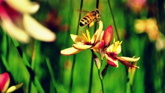 Sarı Arı ve Çiçekler #wallpaper #arı #çiçek #bee #flowers