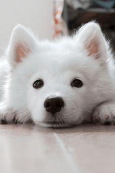 A Cute White Puppy A Cute White Puppy Cute Puppy Dog