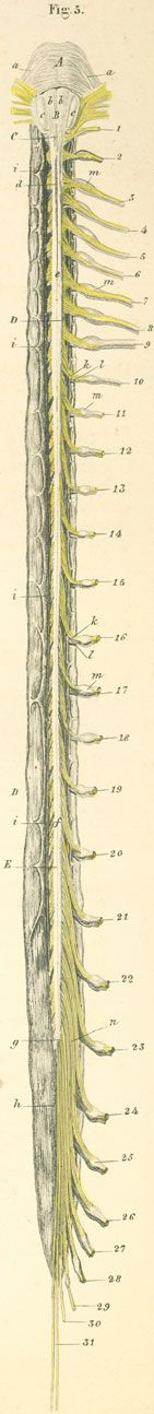 The length of spinal cord in the opened dura mater sac, with the roots of spinal nerves. Seen from the ventral surface.