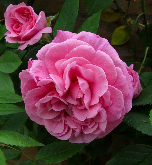 3215 beste afbeeldingen over english roses op pinterest. Black Bedroom Furniture Sets. Home Design Ideas