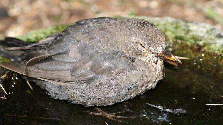 """Ausbruch """"besonders weitflächig"""": Usutu-Virus bedroht Vögel in Deutschland"""