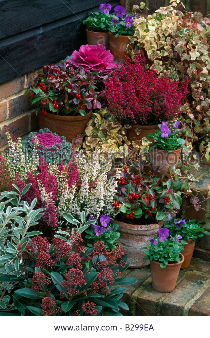 Winter containers: Ornamental kale Northern Lights, Erica gracilis, Gaultheria procumbens, Skimmia japonica 'Rubella', 'Universal' pansies, Ivy