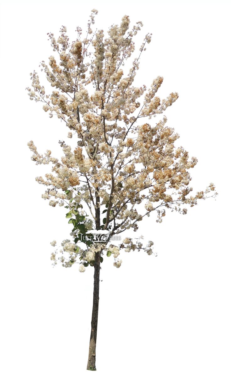 Dombeya rotundifolia | Common name: Wild Pear | Spring 1