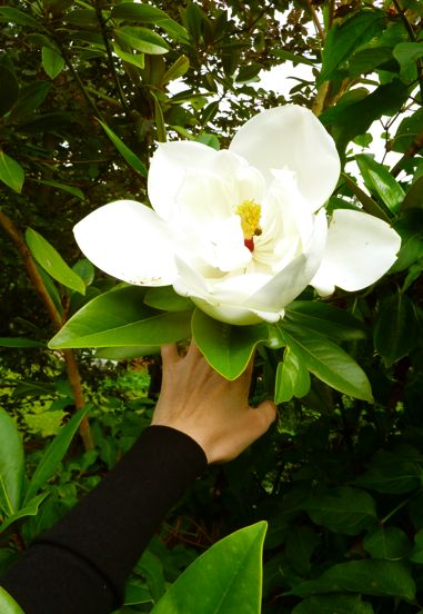 how to make a magnolia tree grow