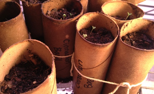Seed starting in toilet paper tubes -  an easy and cheap method.