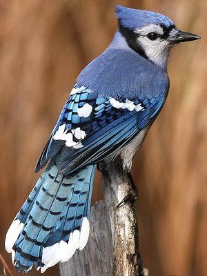"Blue Jay:In the spiritual realm, the blue jay speaks of clarity and vision. In Native American symbolism (namely.the SiouxNation) the azure of the jay against the blue sky indicated a ""double vision"" or double clarity. This visual/spiritual ""blue on blue"" concept speaks of purity of the soul, truth of the heart, and clarity of thought.*what's-your-sign.com"