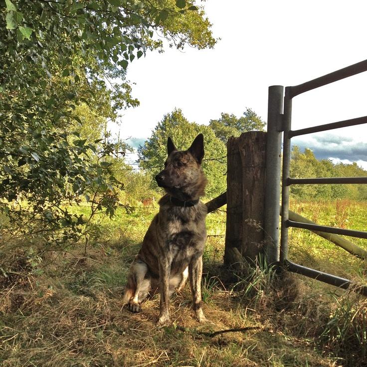 Dutch Shepherd Wiebe
