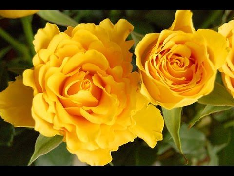 Beautiful and colorful blooming roses, lily, daisy, marigold, iris and more flowers time lapse - YouTube