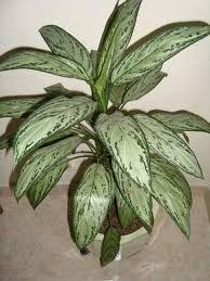 Dólar - Araceae - Aglaoenema sp.  #DeCaliSeHablaBien