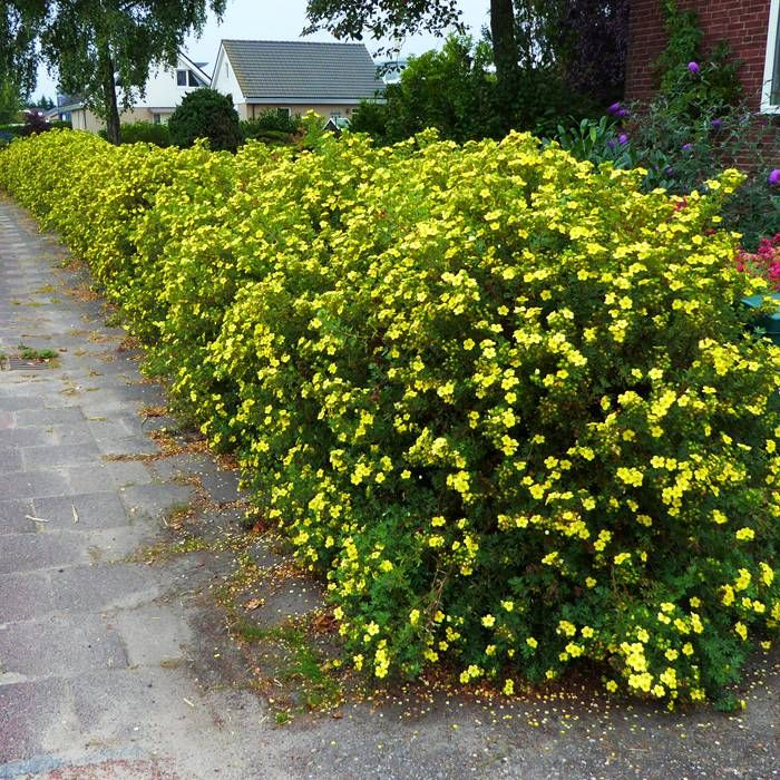 Good for wildlife! Put near footpath. Potentilla fruticosa - 10 hedge plants Buy online order yours now