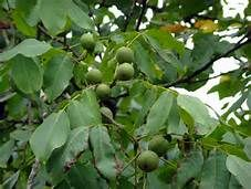 Noce Juglans - Yahoo Image Search Results