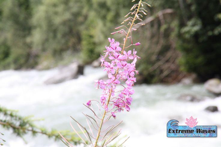 un fiore sulla riva del #Fiumenoce ad #ExtremeWaves #Rafting in #Valdisole #Trentino